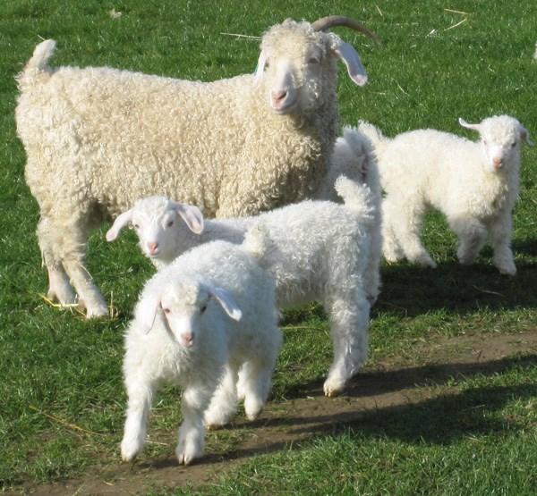 Nuôi cừu lấy lông